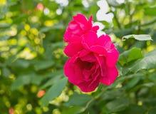 Roses rouges fleurissantes photo stock