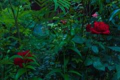 Roses rouges le soir Images stock