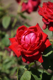 Roses rouges merveilleuses Images stock