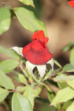 Roses rouges merveilleuses Photos stock