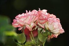 Roses rouges merveilleuses Photographie stock libre de droits