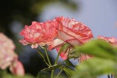 Roses rouges merveilleuses Images libres de droits