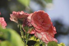 Roses rouges merveilleuses Image libre de droits