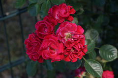 Roses rouges merveilleuses Photo stock