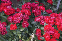 Roses rouges merveilleuses Photo libre de droits