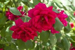 Roses rouges pour des amants, roses, roses pour le jour de l'amour, les plus merveilleuses roses naturelles appropriées au web de Photographie stock libre de droits