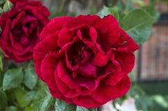 Roses rouges pour des amants, roses, roses pour le jour de l'amour, les plus merveilleuses roses naturelles appropriées au web de Images libres de droits