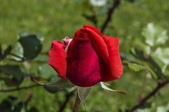 Roses rouges pour des amants, roses, roses pour le jour de l'amour, les plus merveilleuses roses naturelles appropriées au web de Photos libres de droits