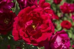 Roses rouges pour des amants, roses, roses pour le jour de l'amour, les plus merveilleuses roses naturelles appropriées au web de Photo stock