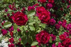 Roses rouges pour des amants, roses, roses pour le jour de l'amour, les plus merveilleuses roses naturelles appropriées au web de Photo libre de droits