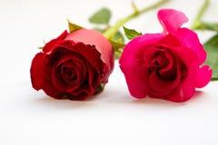 Roses rouges pour le jour du ` s de Valentine d'isolement sur le fond blanc Fond de blanc de carte de Valentine Photo libre de droits