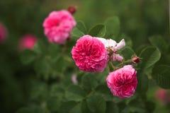 Roses rouges s'élevantes Images stock