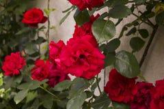 Roses rouges s'élevantes dans le jardin photo stock