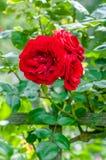 Roses rouges sang dans le groupe d'horticulture de culture d'usine de jardin de fleurs Image libre de droits