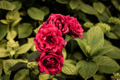 Roses rouges sauvages Photographie stock