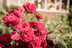 Roses rouges sauvages Photo stock
