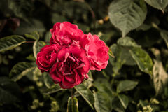 Roses rouges sauvages Image stock