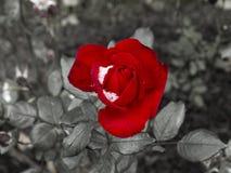 Roses rouges sensibles dans un lit de fleur couvert de neige fraîche Images stock