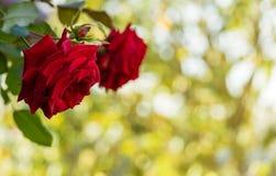 Roses rouges sur le fond brouillé photographie stock libre de droits