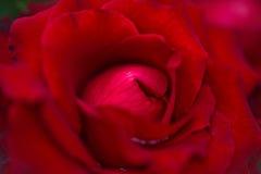 Roses rouges sur le fond en bois, rétro vintage, Photographie stock libre de droits