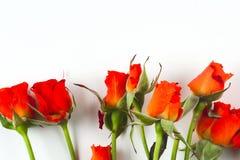 Roses rouges sur un fond blanc Photos stock
