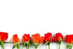Roses rouges sur un fond blanc Image libre de droits