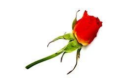 Roses rouges sur un fond blanc Photographie stock libre de droits