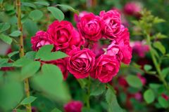 Roses rouges sur un fond des feuilles vertes Image stock