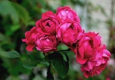 Roses rouges sur un fond des feuilles vertes Images stock