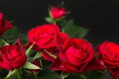 Roses rouges sur un fond noir image libre de droits