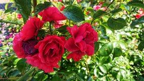 Roses rouges un jour d'étés photographie stock libre de droits