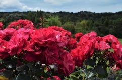 Roses rouges vibrantes dans un jardin botanique photographie stock