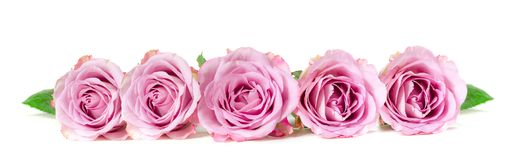 Roses in a row. Isolated on white background. Panoramic image Royalty Free Stock Photos