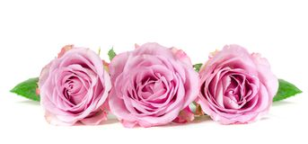 Roses in a row. Isolated on white background. Panoramic image Royalty Free Stock Photo