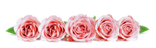 Roses in a row isolated on white background. Panoramic image Royalty Free Stock Photo
