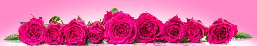 Roses in a row. Panoramic image Royalty Free Stock Images