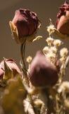 Roses sèches Image libre de droits
