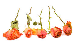 roses sèches Image stock