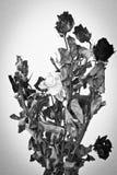 Roses sèches avec le monochrome Photographie stock