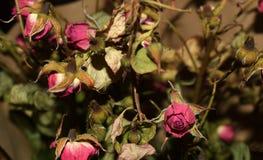 Roses sèches sur un fond foncé photos stock
