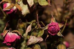 Roses sèches sur un fond foncé photographie stock libre de droits