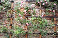 Roses s'élevantes de vintage sur un treillis photographie stock libre de droits