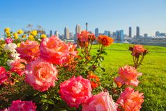 Roses in San Diego. Focus on flowers. Flowerbed with fresh roses and drops of water against the background of downtown San Diego, early in the morning. Roses in stock images