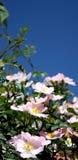 Roses sauvages photographie stock libre de droits