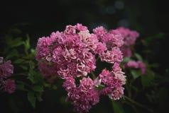 Roses sauvages Photos libres de droits