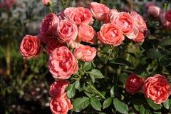roses scarlet Στοκ φωτογραφία με δικαίωμα ελεύθερης χρήσης
