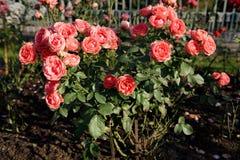 roses scarlet Στοκ εικόνα με δικαίωμα ελεύθερης χρήσης