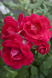 roses scarlet Στοκ Εικόνες
