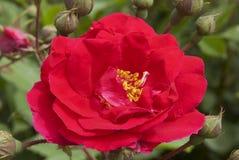 roses scarlet Στοκ Φωτογραφίες