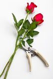Roses and scissors royalty free stock images